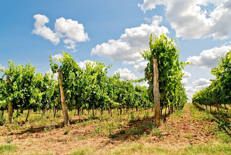рядки виноградного вина стоковые изображения rf