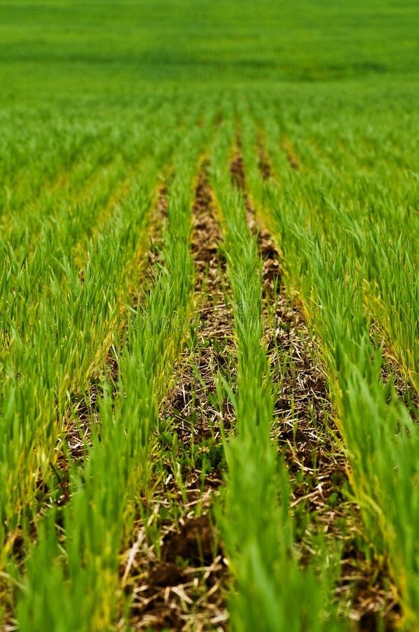 рядки зеленого цвета урожая земледелия стоковое изображение rf