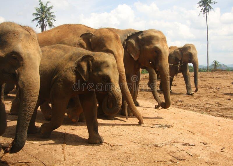 ряд табуна слонов идя стоковая фотография rf