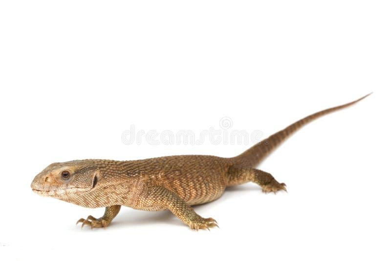саванна монитора ящерицы стоковая фотография