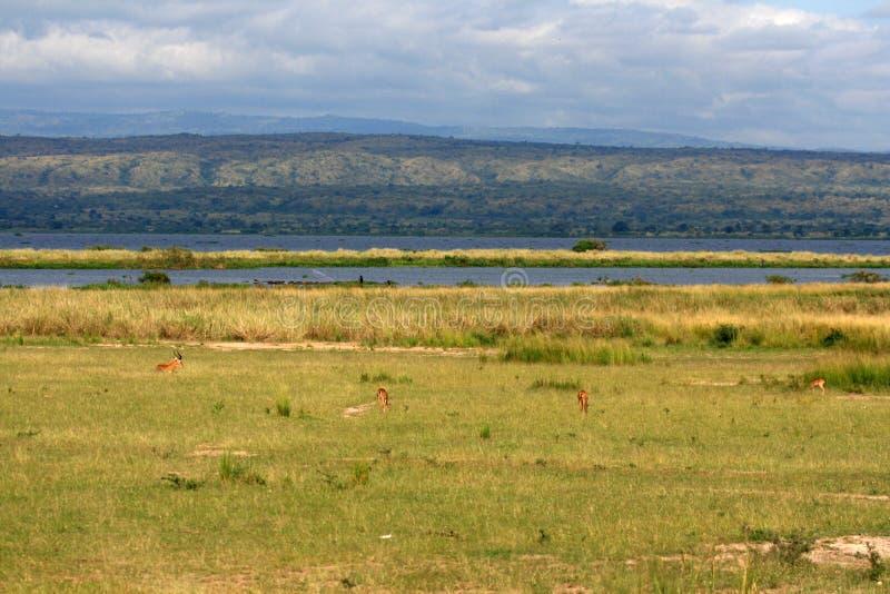 Саванна - Murchison Falls NP, Уганда, Африка стоковое фото rf