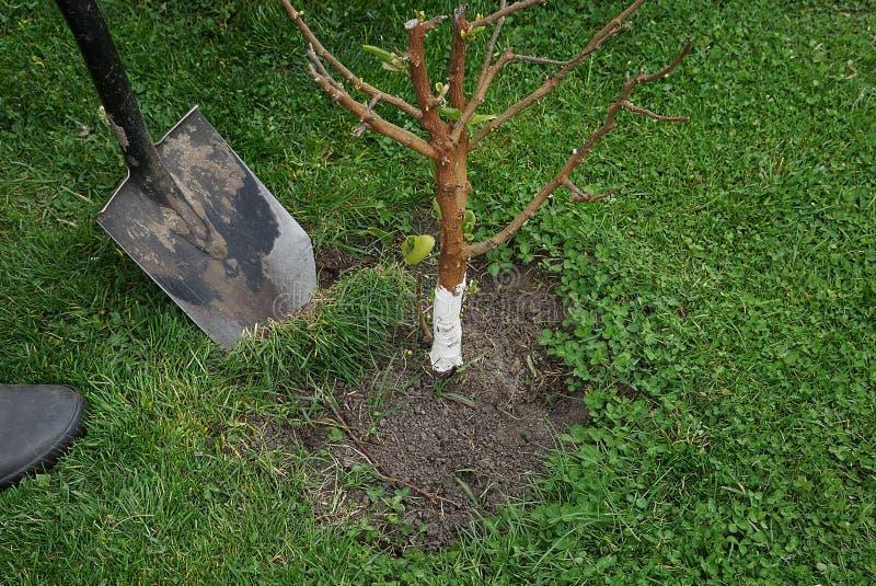 Садовник выкапывает вверх траву вокруг малого дерева в саде стоковое фото rf