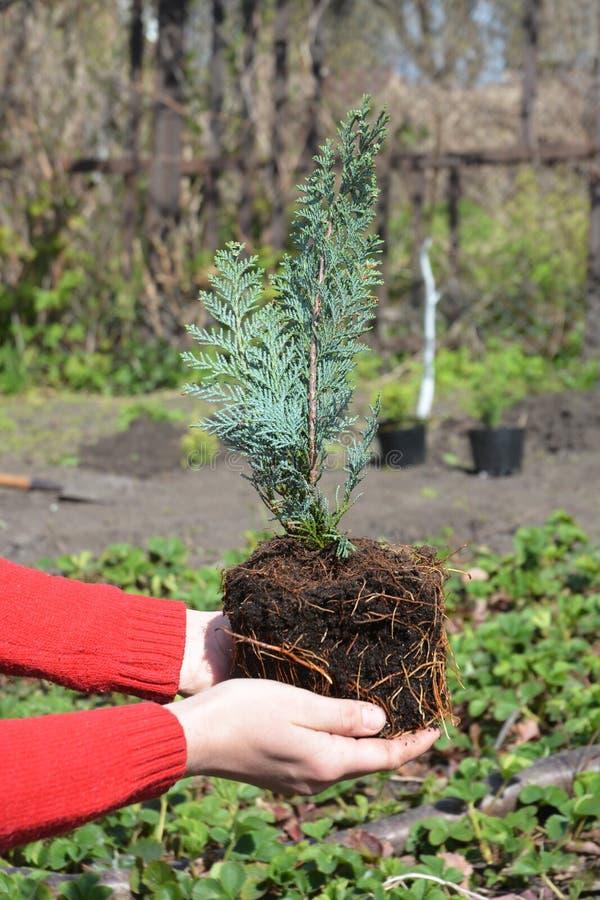Садовник засаживая деревце Alumii lawsoniana кипарисовика Lawsoniana кипарисовика, известное как гаван кедр Orford или кипарис La стоковая фотография rf