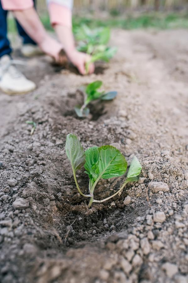 Садовник засаживая саженец капусты в огороде стоковые изображения rf