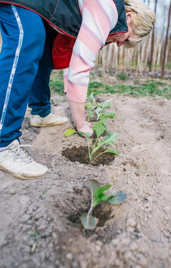Садовник засаживая саженец капусты в огороде E стоковое изображение