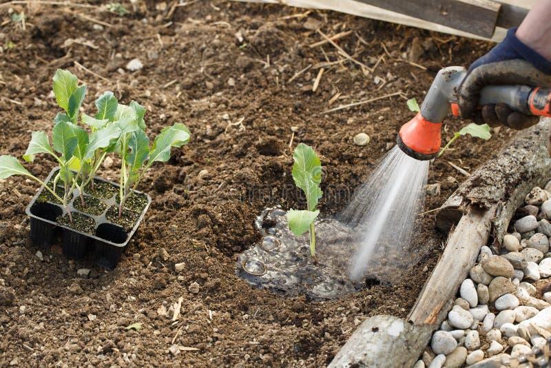 Садовник моча свежо засаженные саженцы в кровати сада для поддержки роста с оружием ливня моча стоковые изображения rf