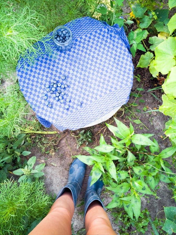 Садовник с собранными голубиками стоковые изображения rf