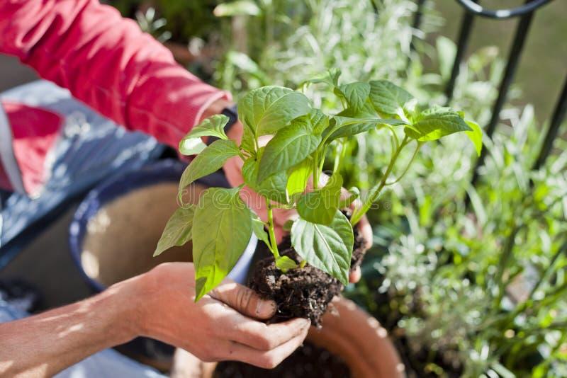 Садовник человека трансплантируя молодые заводы перца chili к более большим бакам - садовничая деятельности на солнечном балконе стоковые фотографии rf