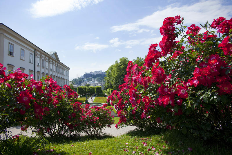 садовничают розы красного цвета mirabell стоковая фотография