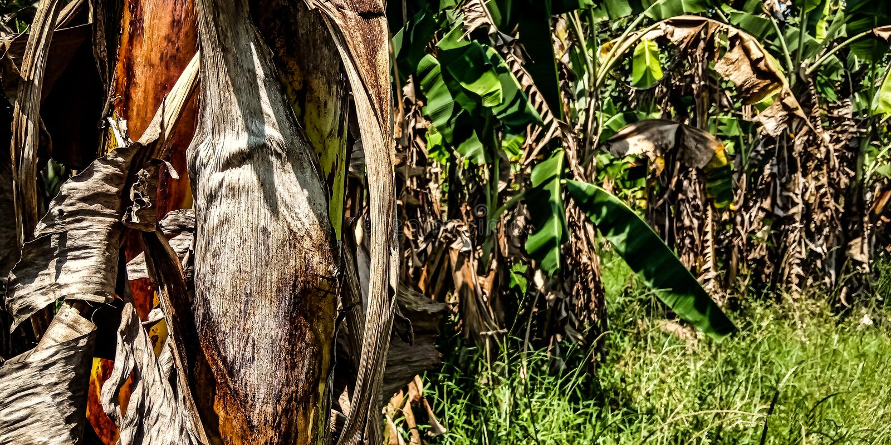 Сад банана стоковые изображения rf