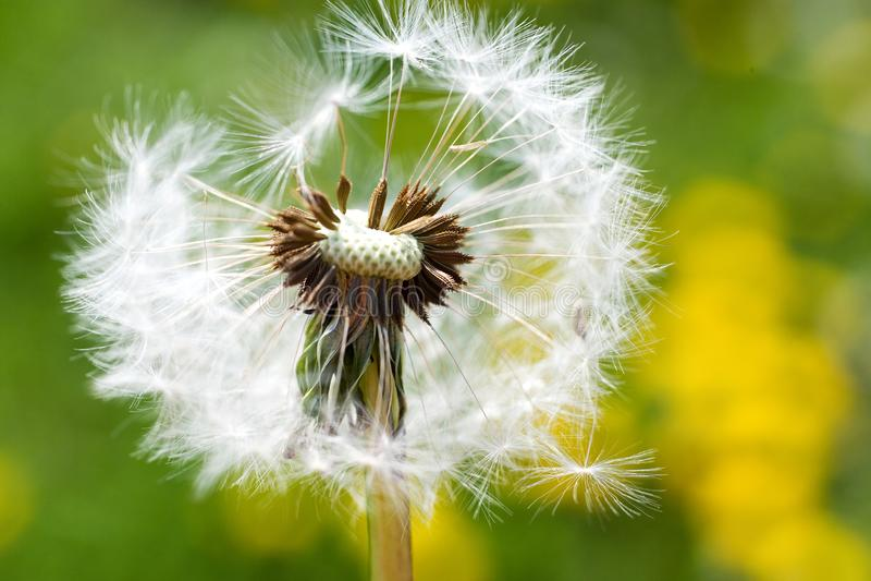 Сад весны и луг - цветки весеннего времени: одуванчик Taraxa стоковые изображения