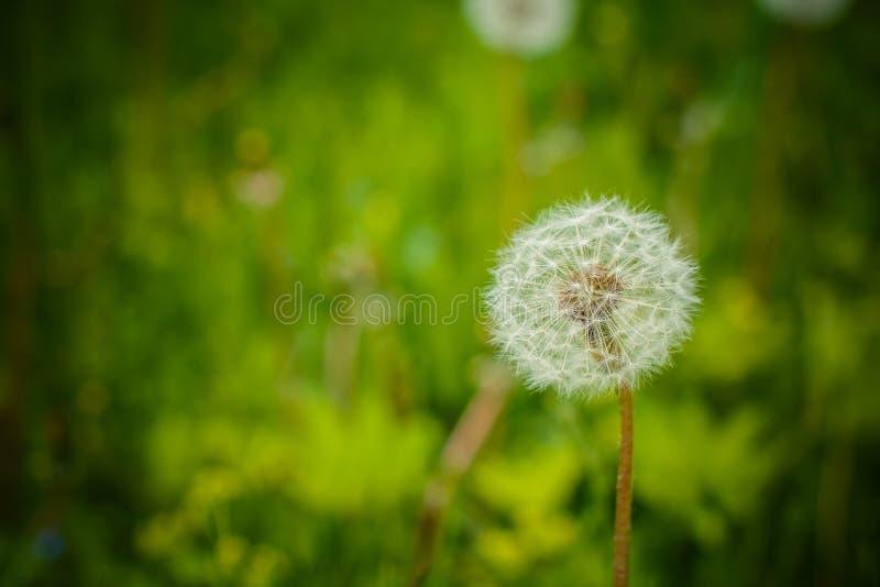 Сад весны и луг - цветки весеннего времени: officinale Taraxacum одуванчика - белые одуванчики осеменяют agains свежая стоковые изображения rf