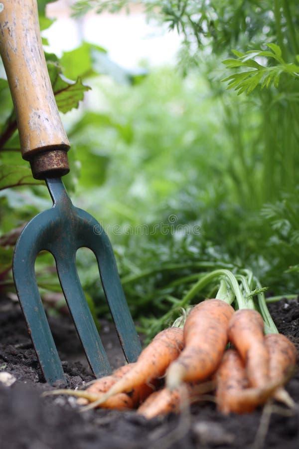 сад вилки морковей стоковые изображения rf