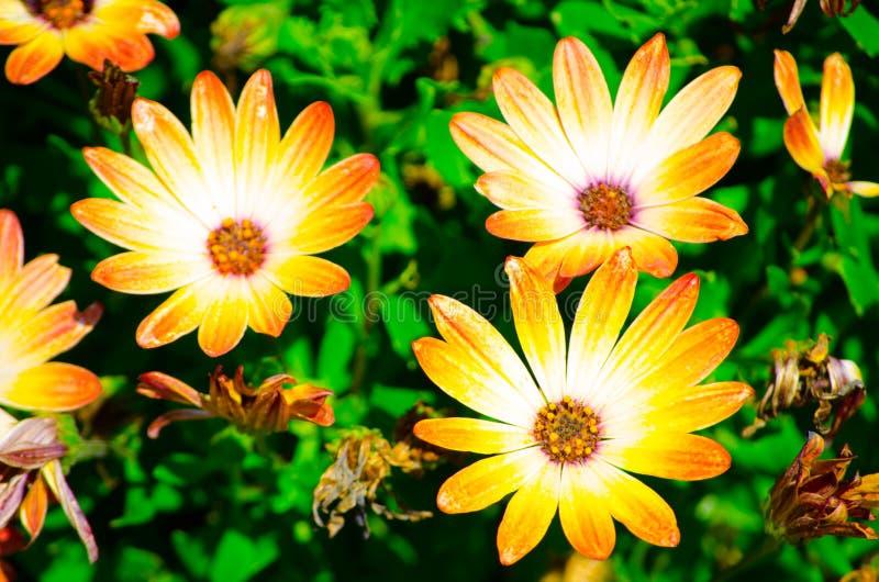 Сад залива захода солнца спокойствия оранжевого куста Osteospermum или маргаритки ботанический стоковые фото