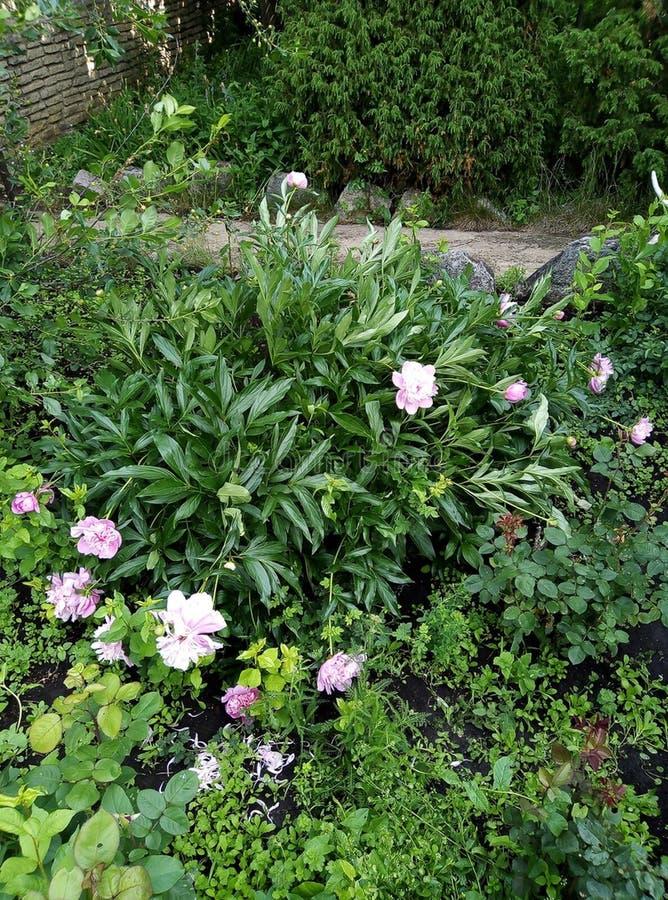 Сад лета который цветки красивых роз чудесные, чудесное стоковое фото rf