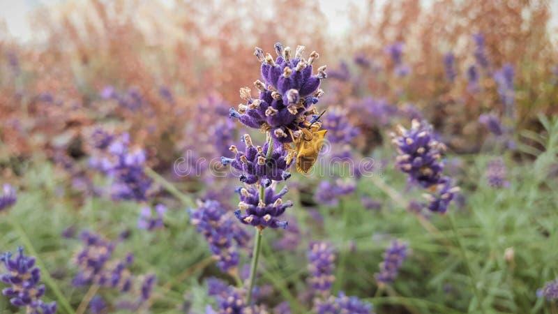 Сад, насекомое питаясь на цветках лаванды стоковое изображение