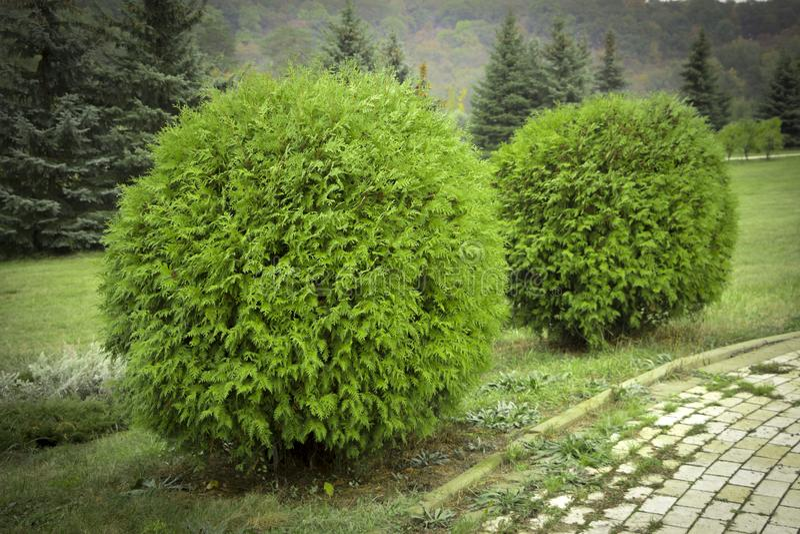 Сад округлой формы Danica occidentalis туи декоративный стоковые изображения rf
