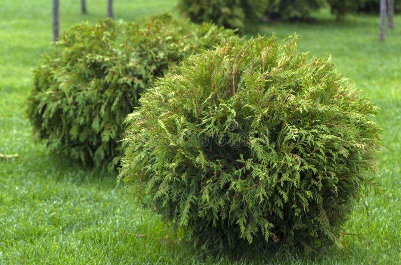 Сад округлой формы Danica occidentalis туи декоративный стоковые фото