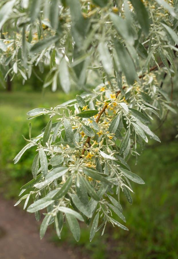 Сад оливки весны Цветя ветвь оливкового дерева стоковое фото