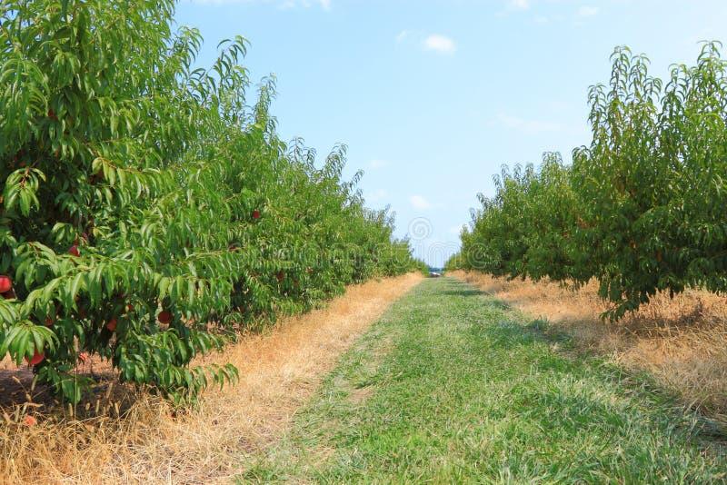 Сад персика стоковые изображения rf