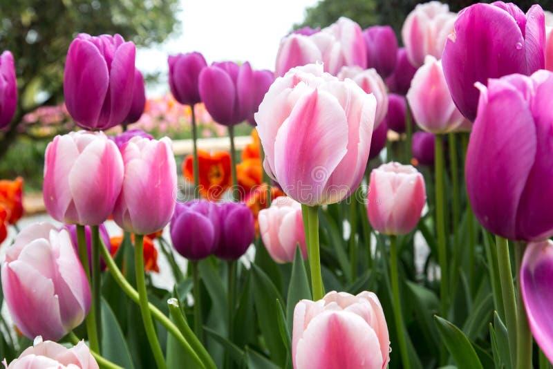 Сад пестротканых тюльпанов закрывает и в немножко расплывчатом расстоянии стоковые фотографии rf