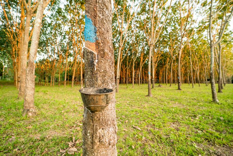 Сад резинового дерева стоковое фото rf