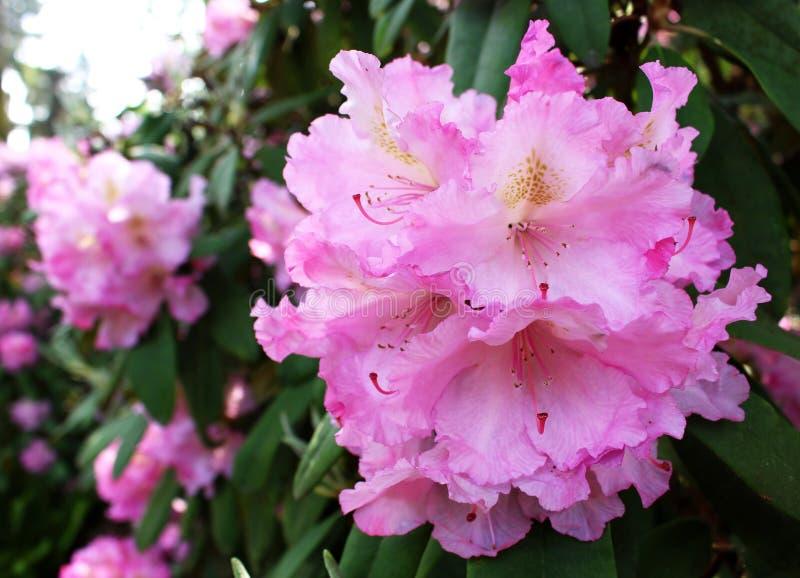 Сад рододендрона крупного плана зацветая весной Сезон цветя рододендронов желтый цвет весны лужка одуванчиков предпосылки полный стоковая фотография
