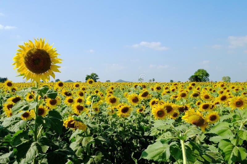 Сад солнцецвета стоковое фото rf