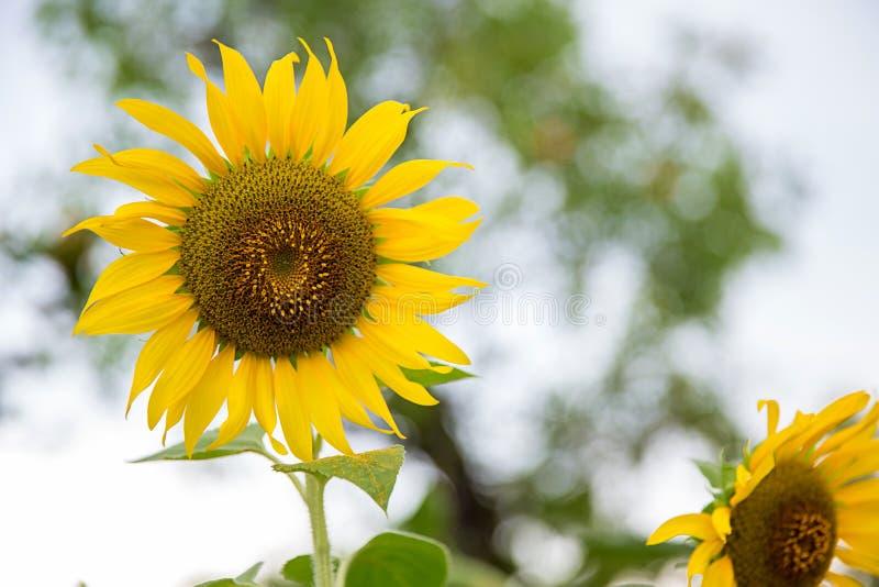 Сад солнцецветов Солнцецветы имеют обильные пособия по болезни стоковое фото rf