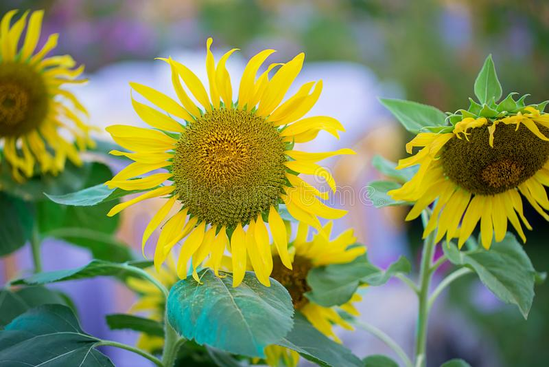 Сад солнцецветов Солнцецветы имеют обильные пособия по болезни стоковая фотография