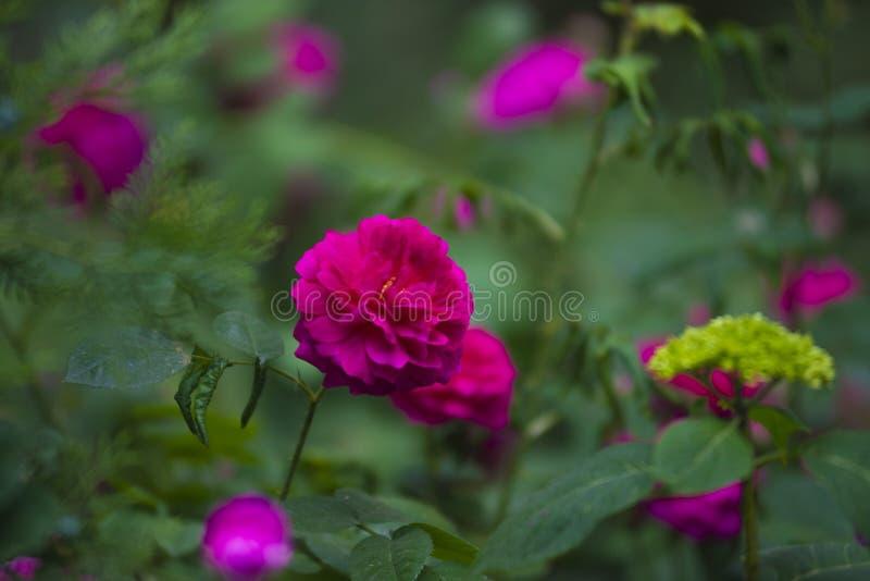 Сад с кустами очень красивых и душистых красных роз стоковые фотографии rf