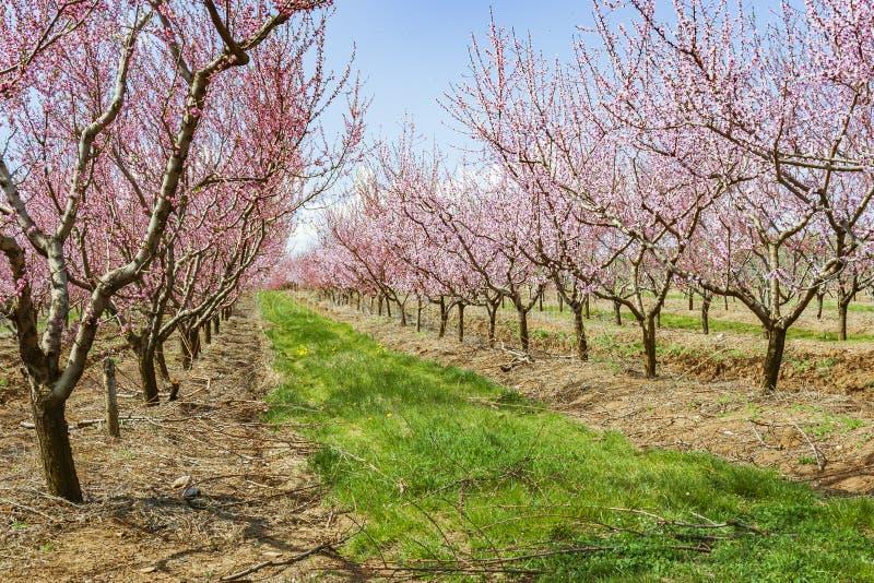 Сад с персиковыми деревами во время цвести стоковое изображение rf