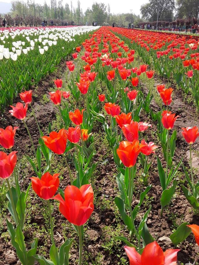 Сад тюльпана в Сринагаре стоковая фотография rf