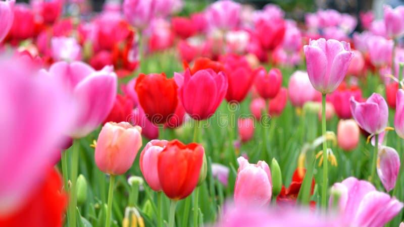 Сад тюльпана полно зацвел тюльпаны стоковая фотография