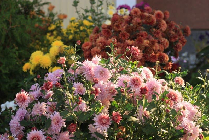 Сад хризантем стоковые изображения