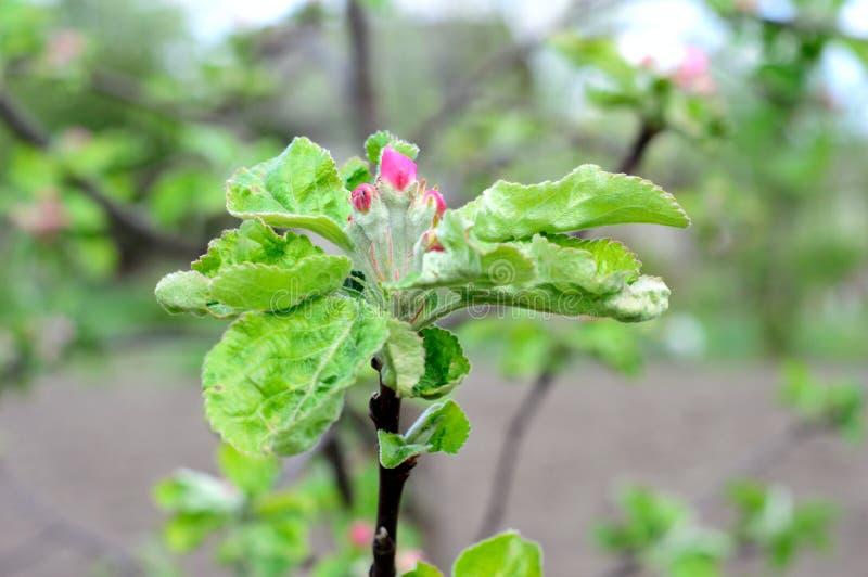 Сад цветения Яблока весной стоковые фотографии rf