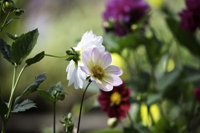Сад цветет, день, темные лепестки bbright предпосылки стоковая фотография rf