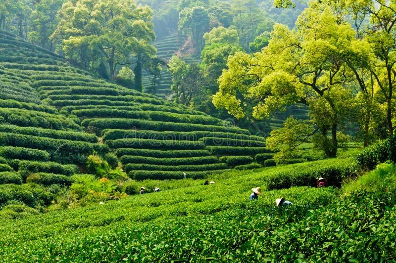 Сад чая западного озера Ханчжоу longjing стоковое изображение rf