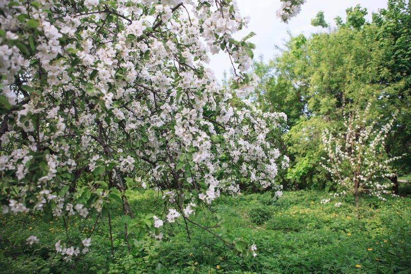 Сад Яблока зацветая на весне стоковая фотография rf