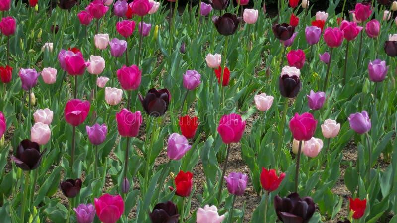 Сад ярких фиолетовых и розовых тюльпанов стоковое изображение