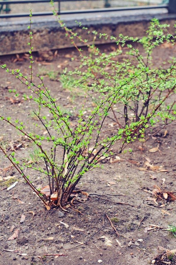 сад bushes барбарисов стоковое фото rf