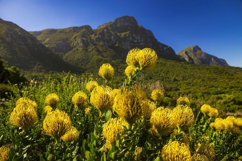 Сад Kirstenbosch национальный ботанический, Protea Pincushion стоковое фото rf
