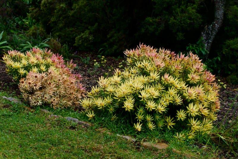 Сад Kirstenbosch Protea национальный ботанический стоковая фотография rf