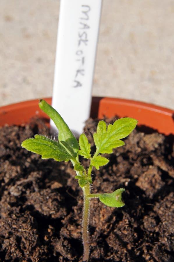 Саженец томата вишни стоковое изображение rf