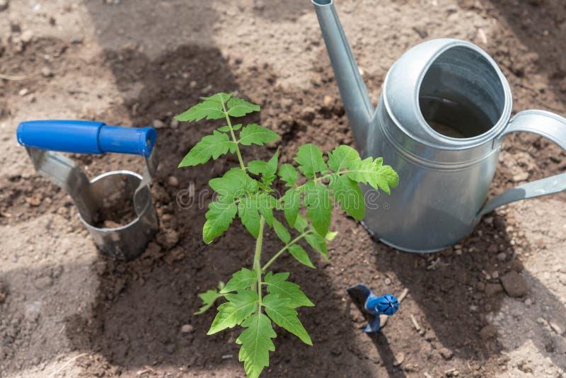Саженец томата с садовыми инструментами r Концепция земледелия стоковое изображение rf