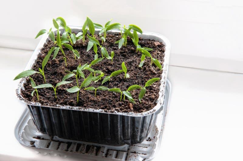 Саженцы баклажана, томатов и перцев растя в прозрачном контейнере на окне землистой почвы в солнечном стоковое изображение
