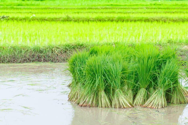 фото выращивание риса в испании играют роль