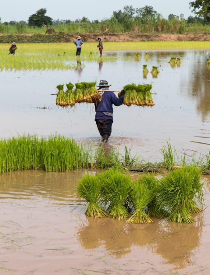 Саженцы нося риса стоковое изображение rf