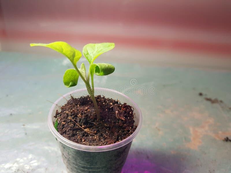 Саженцы - очень красивые саженцы баклажана в баке стоковые фотографии rf