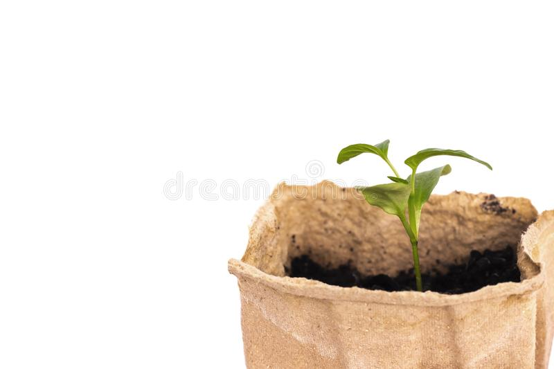 Саженцы перца в баках торфа Ростки перца изолированные на белизне Концепция садовничать стоковая фотография rf